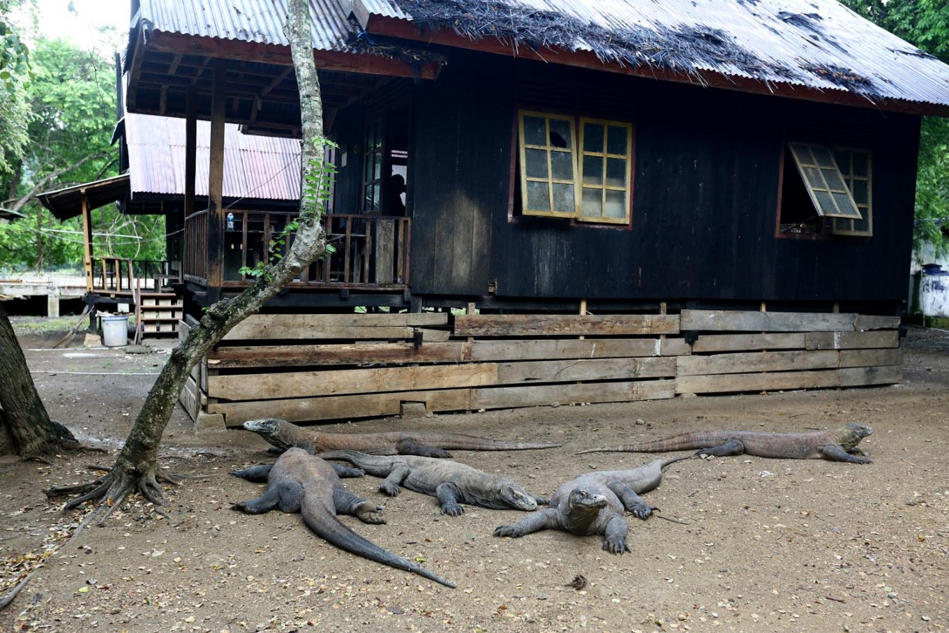 House asks ministry to conserve Komodo dragon habitat